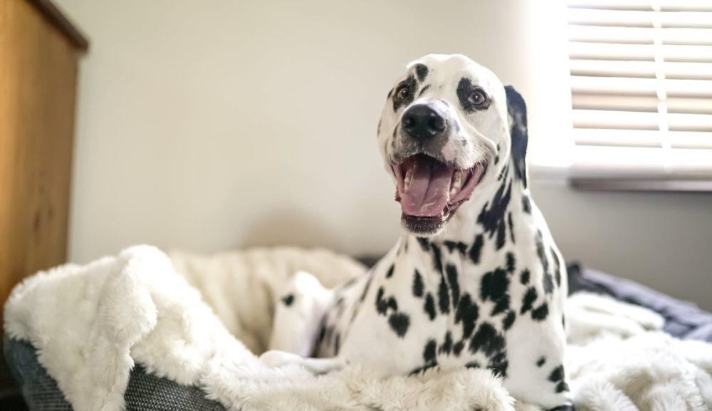 「もうひと眠りしたいのに…」毎朝愛犬に起こされちゃってつらい、そんな時は?